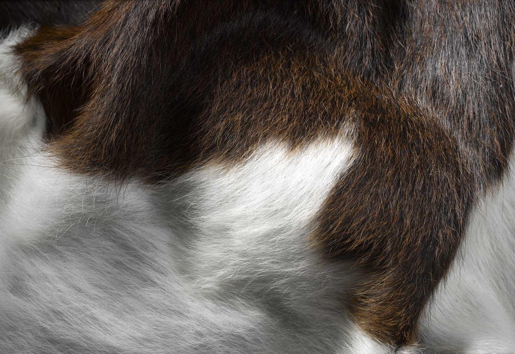 WILD COWHIDE-RUG-CHOCOLATE & WHITE-ZOOM